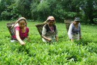 भारतीयले तोक्छन् नेपाली चियाको मूल्य