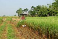 किसानहरू धमाधम धानको हरियो बोट काट्न थाले