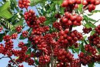 पूर्वलडाकुको कृषि मोह : चियाको राजधानीमा कफीको शुरुआत