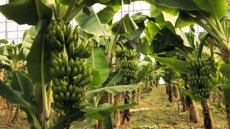 बारामा केरा खेती गर्ने किसानहरु बिमा तर्फ आकर्षित