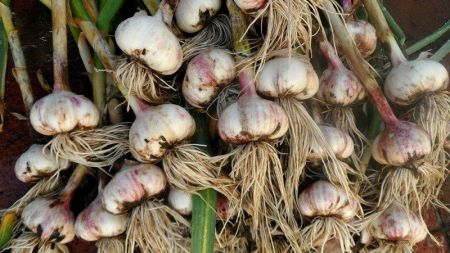 कंचनपुरका किसानहरुलाई लहसुनको विउ वितरण,पकेट क्षेत्र विस्तार